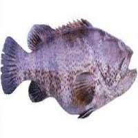 Malabar Reef Cod Manufacturers