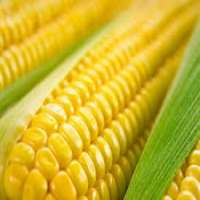 有机甜玉米 制造商