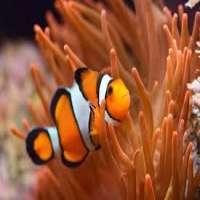 Clown Fish Manufacturers