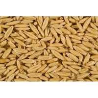 燕麦种子 制造商