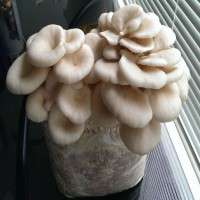 Oyster Mushroom Spawn Manufacturers