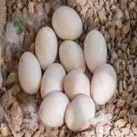 鸟蛋 制造商