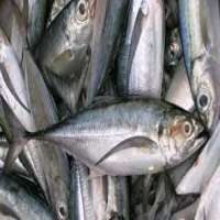 Frozen Fishes Manufacturers