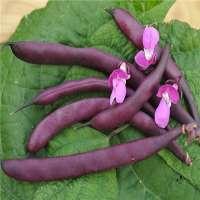 紫豆 制造商
