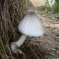稻草蘑菇 制造商